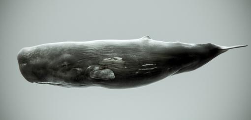 Sperm Whale Side.jpg